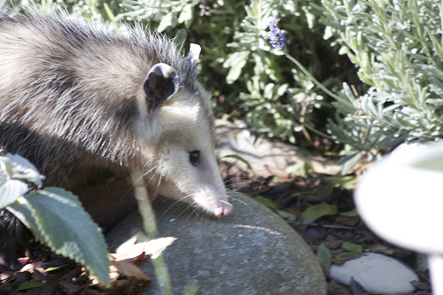 How to Keep Possums Away