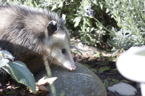 Possum Pictures: Here's What They Look Like